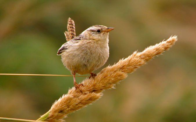 Cistothorus_platensis_falklandicus_Grass_Wren_-_10