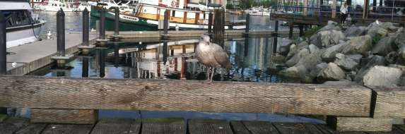 Seagull Vancouver