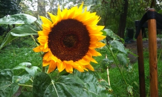 Cyclops Sunflower